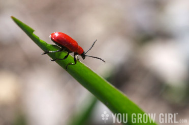 lily_beetle